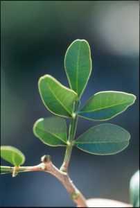 mastiha-leaf-%ce%b1%ce%bd%ce%b8%ce%bf%cf%83_%ce%bc%ce%b1%cf%83%cf%84%ce%b9%cf%87%ce%b1%cf%835